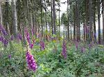Fingerhut bedecken ganze Waldwiesen.