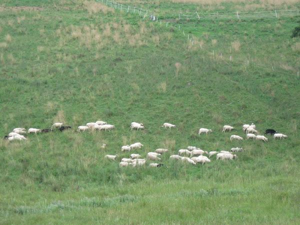 lepiej pooglądać stado owiec