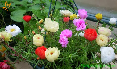 Hạt hoa mười giờ my