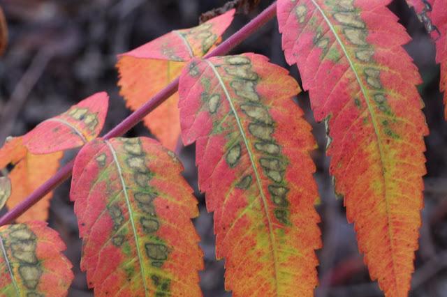 sumac leaves in full color
