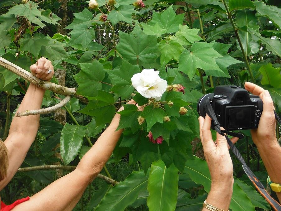 Semis d'hibiscus DSCF0322