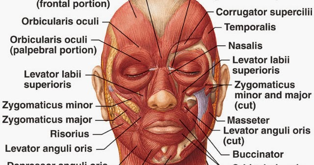 Anatomy Muscle Muscles Of Facial