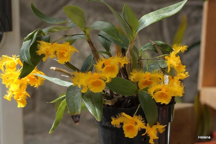 Dendrobium harveyanum Dendrobium%2520Harveyanum%252020124