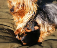 Snoekie - Tiny yorkie with pup