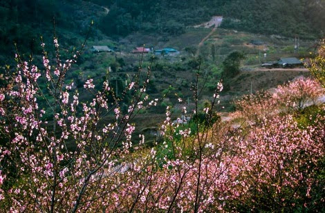 hoa dao moc chau pys travel003 Mùa hoa đào ở cao nguyên Mộc Châu