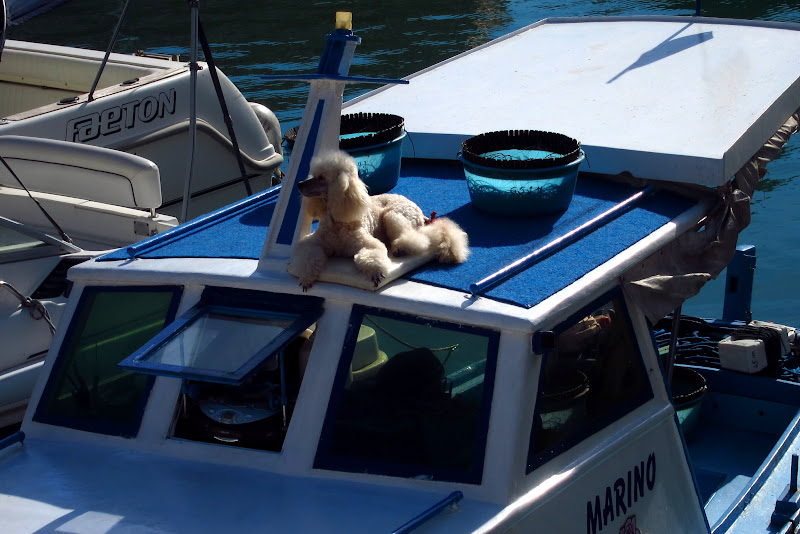 poodle on a boat