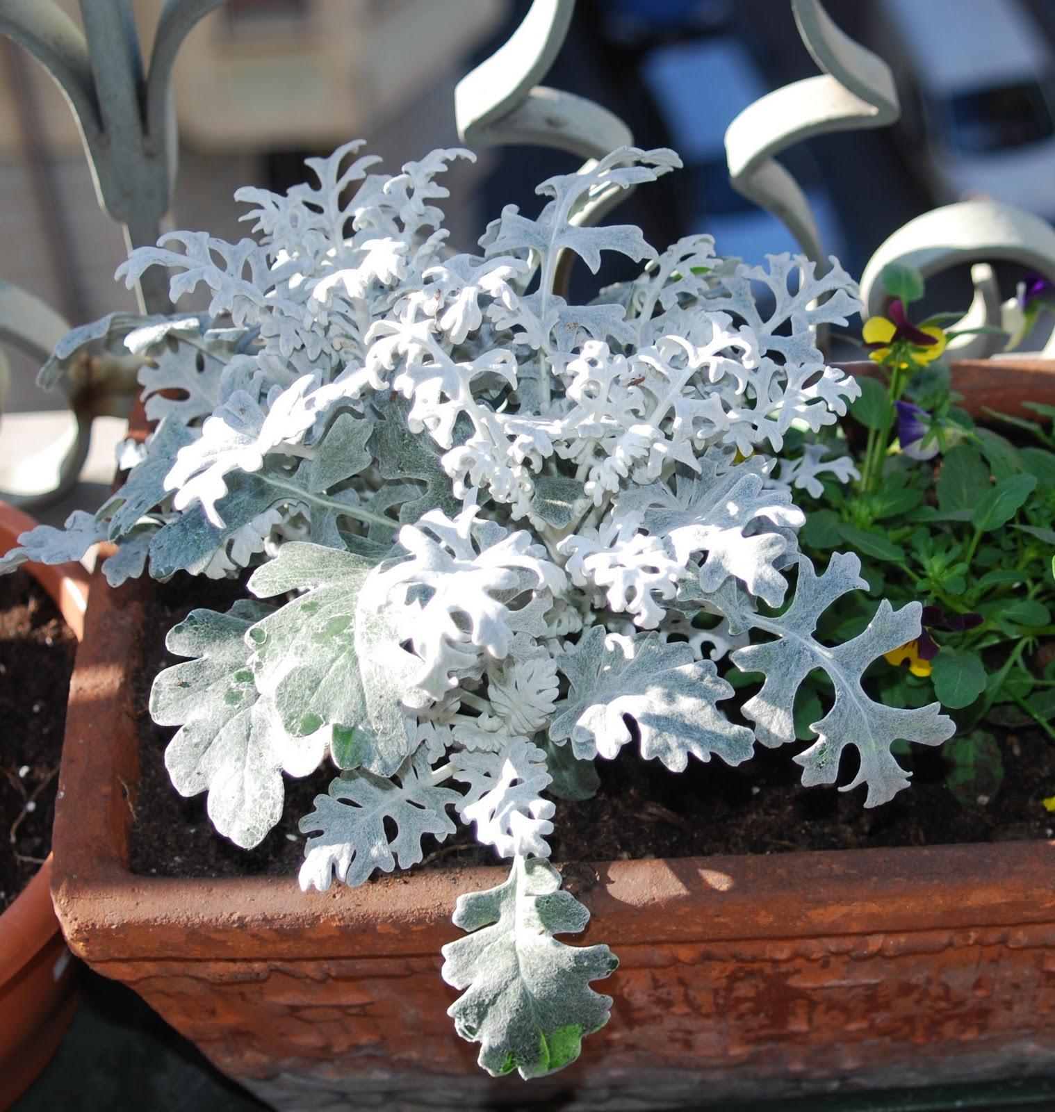 Piante Con La I : Fiori piante e giardini del mondo cineraria marittima