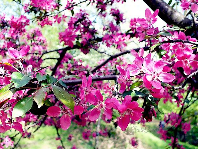 flori roz parcul de sub arini sibiu