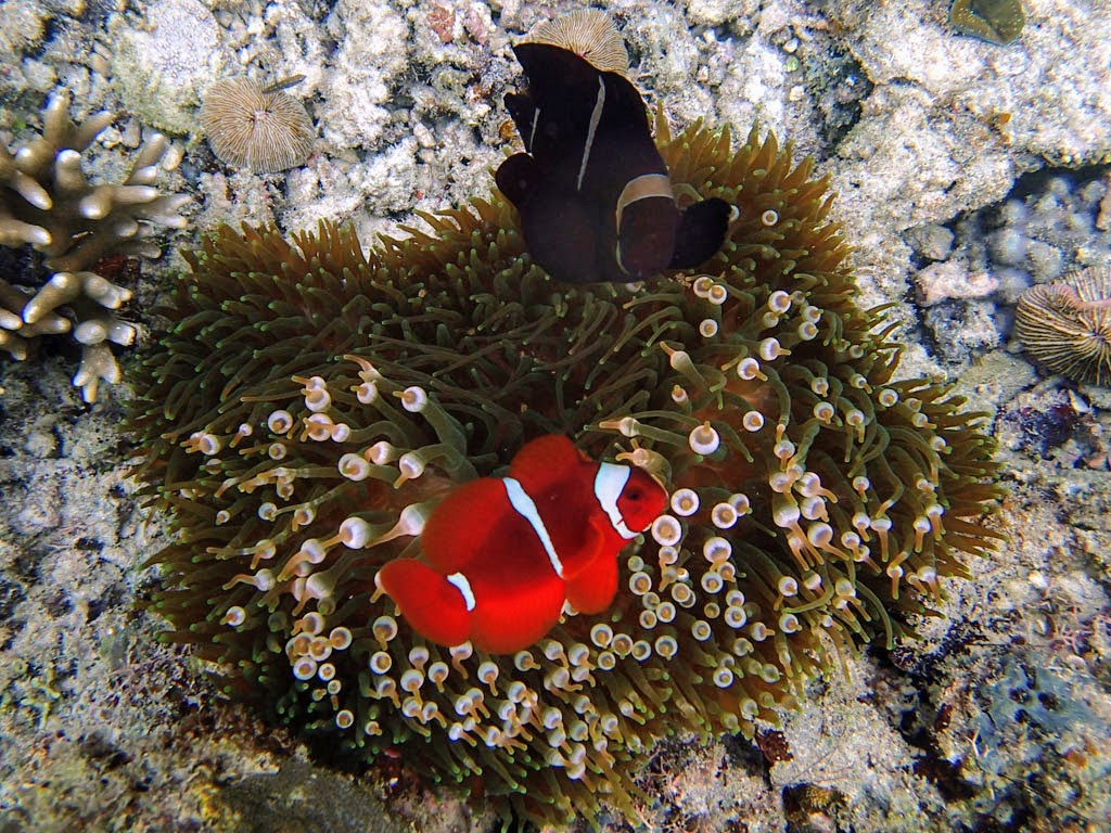 Maroon Clownfish with Bubble Anemone