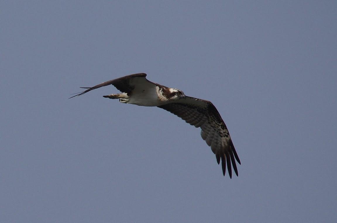 廣興河濱公園 - 魚鷹