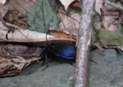 big, black, shiny bug