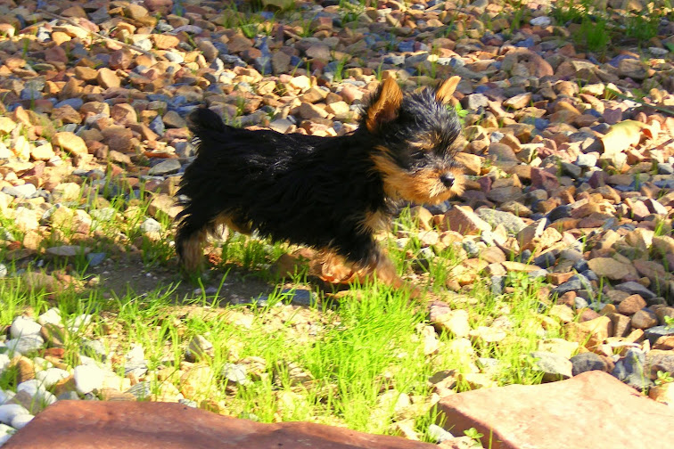 cute little yorkie with docked tail