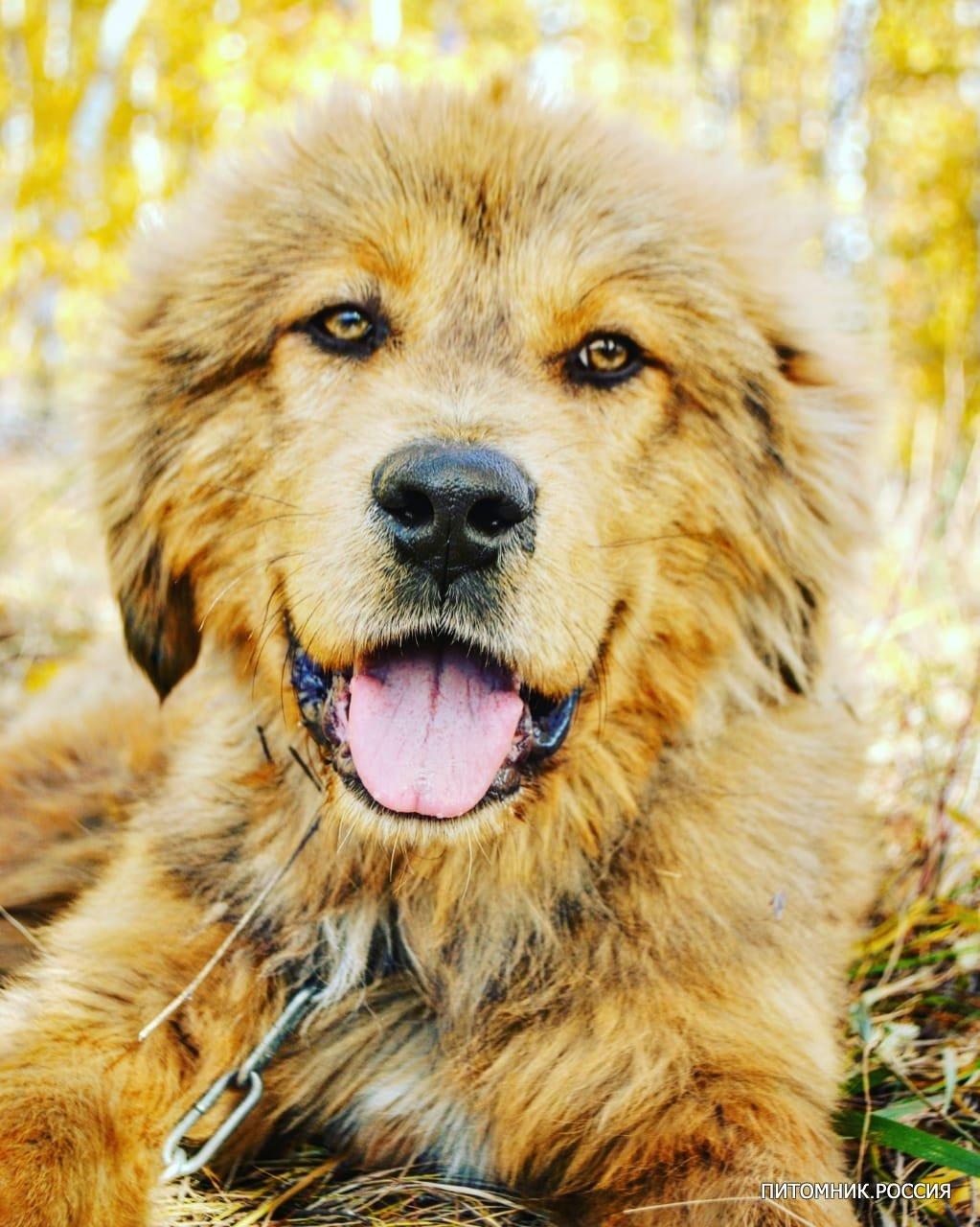 Купить щенков Тибетского Мастифа