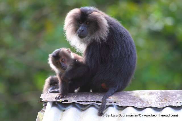 Lion Tailed Macaque - Mother and Baby
