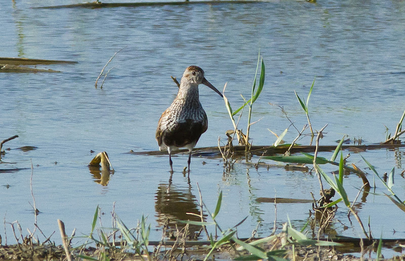 Pasari birdwatching limicole Delta Dunarii