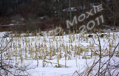 Picture of wild turkeys in a snowy cornfield