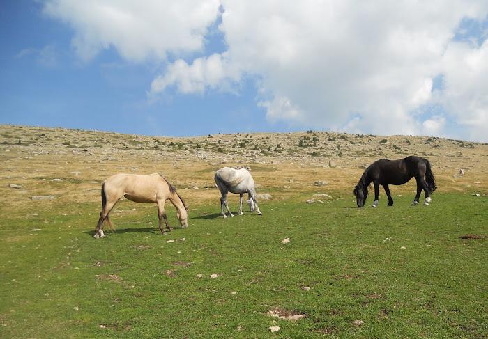 Horse herds above Ortisei