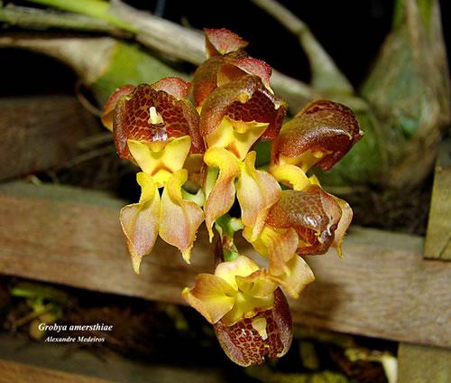 Растения из Тюмени. Краткий обзор - Страница 4 Grobya-amersthiae