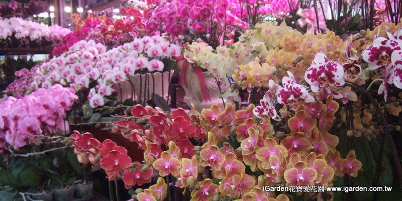 花市販售的蝴蝶蘭 | iGarden花寶愛花園