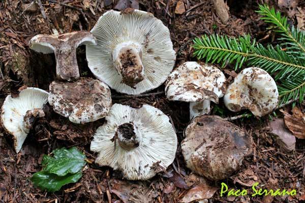 Russula densifolia