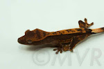 Dark partial pinstripe crested gecko (Abraxas x Abernathy) from moonvalleyreptiles.com