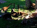 Los coatíes son animales salvajes y salvajes deben permanecer, no hay que darles de comer, son unos descarados