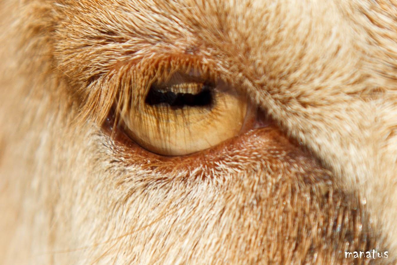 manatus ojo de cabra