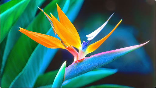 Bird of Paradise, Hawaii.jpg