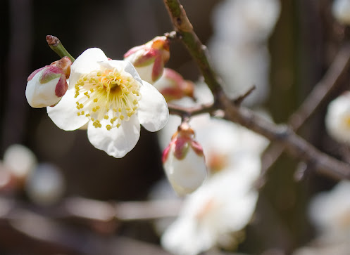 須磨浦山上遊園地の梅の花2