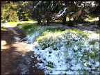 śnieg majowy na jagodziankach