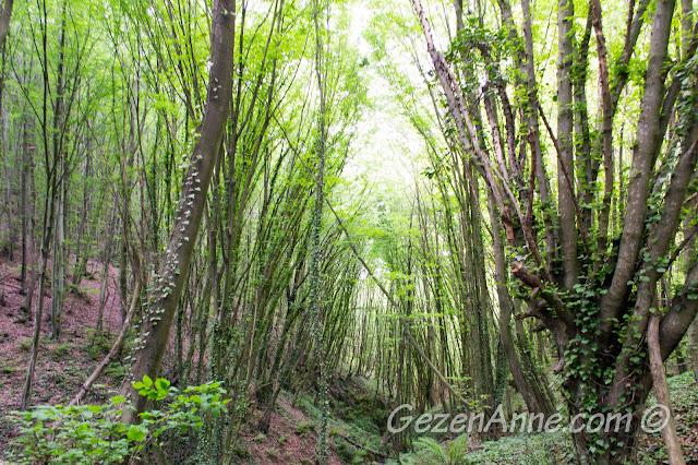 Polonezköy Tabiat Parkı'ndaki ilginç kayın ağaçları