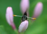 бабочка, photo, butterfly,lepidoptera, Булавоусые, Papilionoidea,