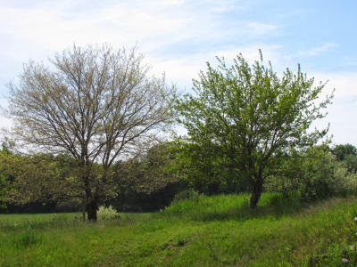 two mulberry trees