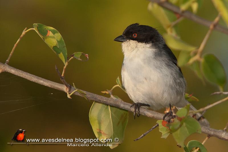 Monterita cabeza negra (Black-capped Warbling-Finch)