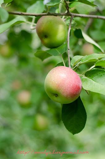 single apple on branch