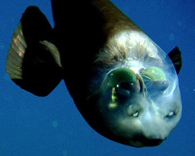 Ugly Fish of the Day: deepsea barreleye