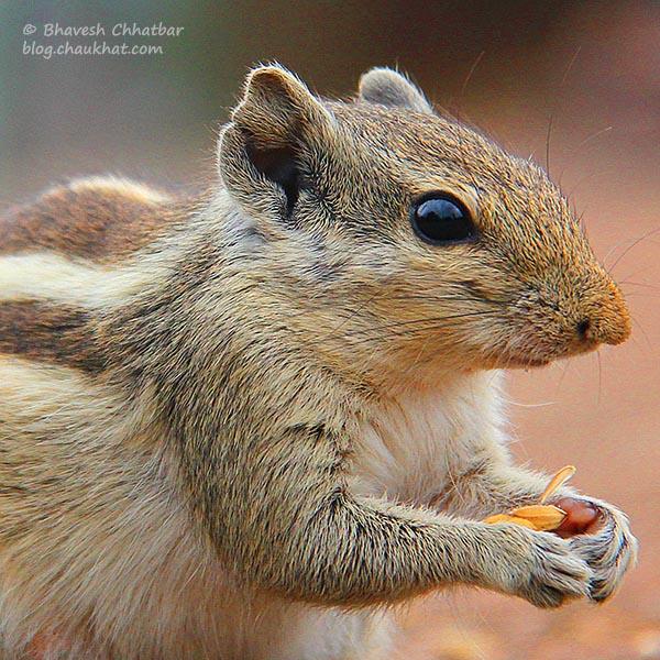 Northern palm squirrel / Five-striped palm squirrel / Funambulus pennantii