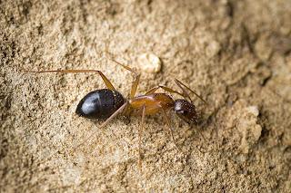 Para ampliar Camponotus pilicornis hacer clic