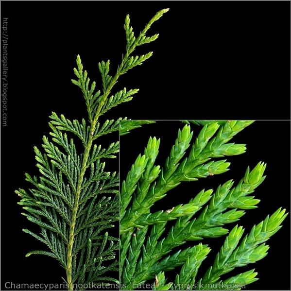 Chamaecyparis nootkatensis 'Lutea' - Cyprysik nutkajski młode przyrosty