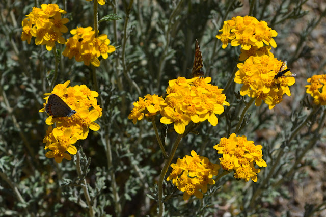 three different butterflies on yellow flowers
