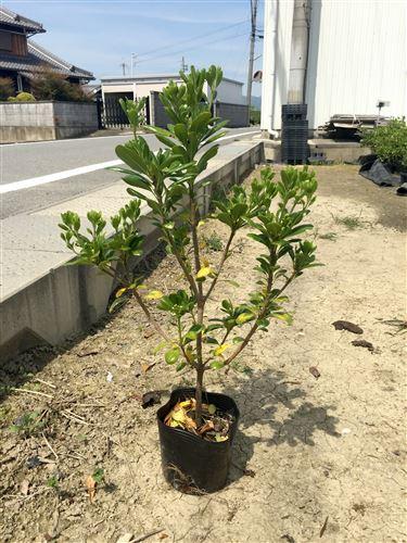EG植栽パック 京奈和IC施工現場 苗木シングル