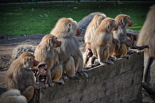 Baboons on a fence by Meneer Zjeroen (Creative Commons) via Flickr
