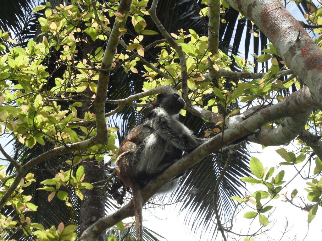 Kızıl Kolombus Maymunu