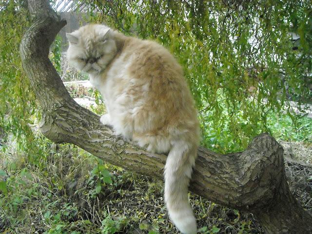 Sammuel perský kocourek