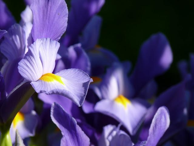 Iris reticulata - Page 3 P1050073