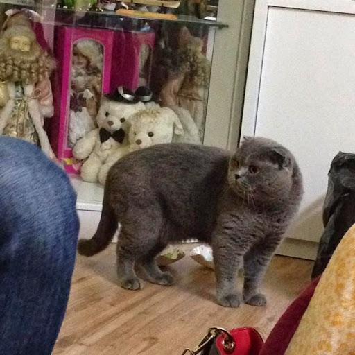 Nhận phối giống mèo anh lông ngắn, phối giống mèo tai cụp, phối giống mèo xám xanh