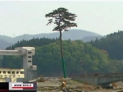 Efforts underway to save Rikuzentakata´s Pine Tree of Hope