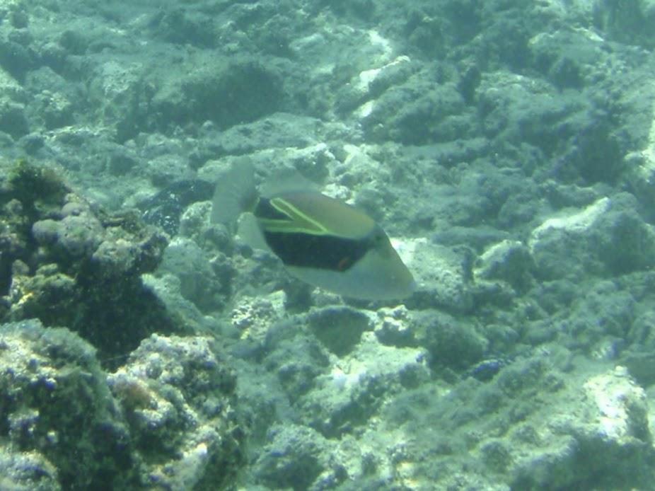 Rhinecanthus rectangulus (Rectangular Triggerfish), Aitutaki.