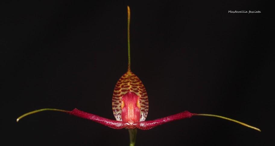 Rodrigoa fasciata ( ex. Masdevallia fasciata ) IMG_0760b%2520%2528Medium%2529