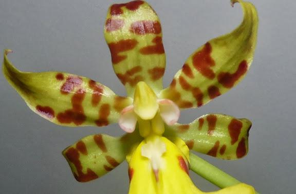 Trichocentrum splendidum P1360817